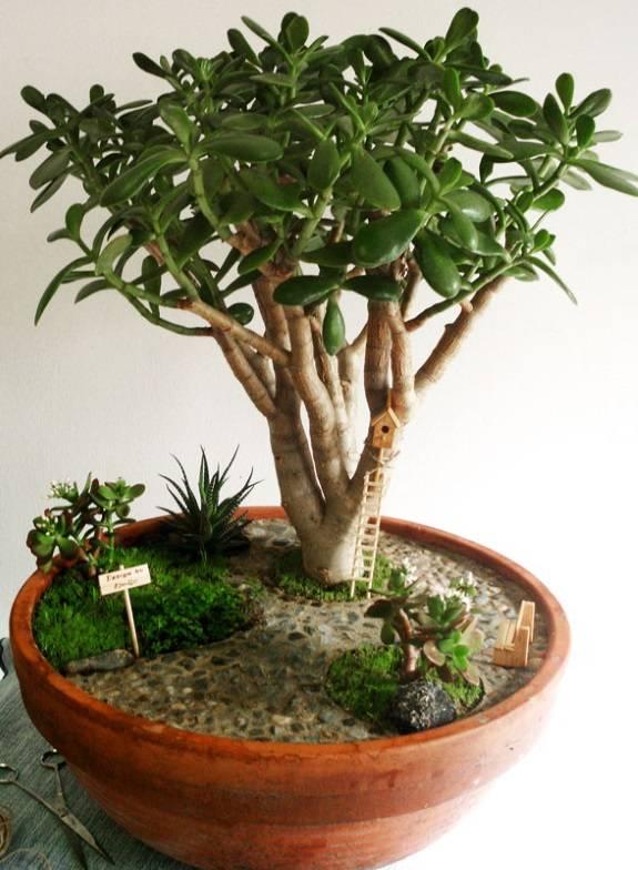 Денежное дерево как бонсай