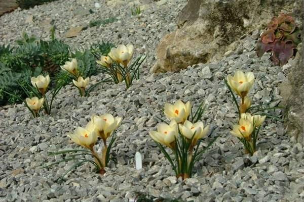 Камни и растения для альпийской горки - фото
