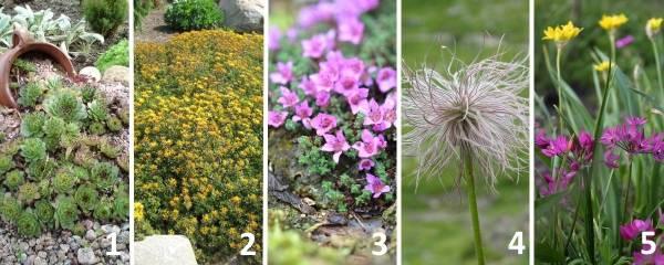 Лучшие растения для альпийской горки - фото и названия