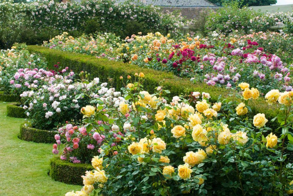 дизайн клумбы с розами