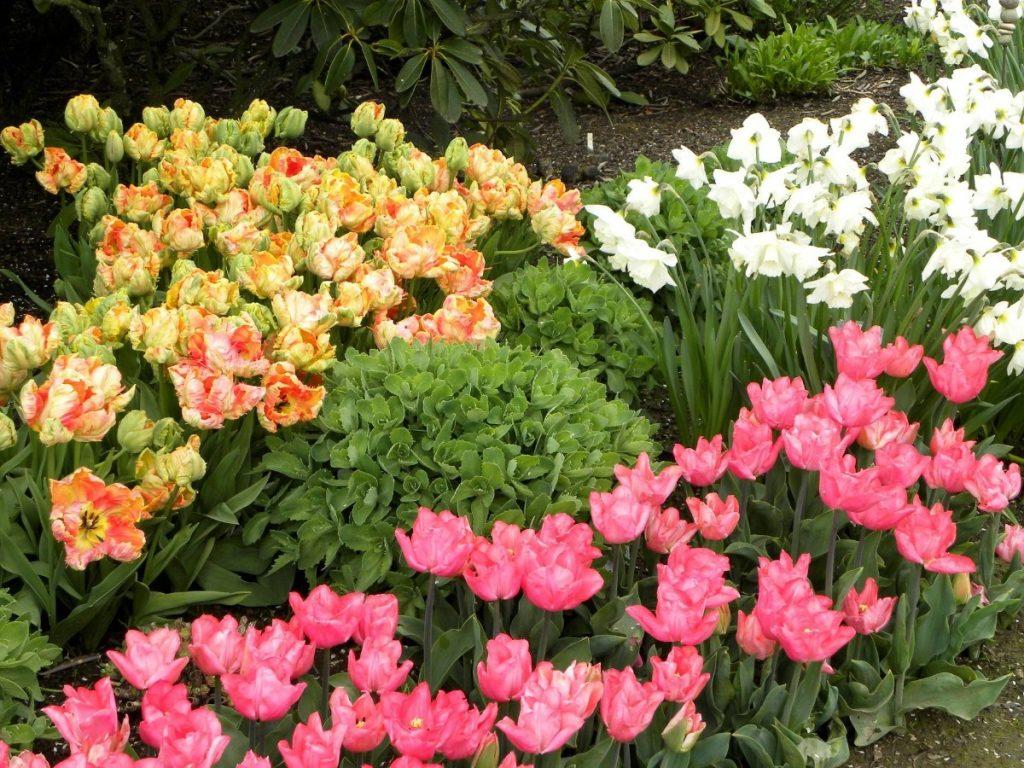 дизайн клумбы с тюльпанами разных сортов