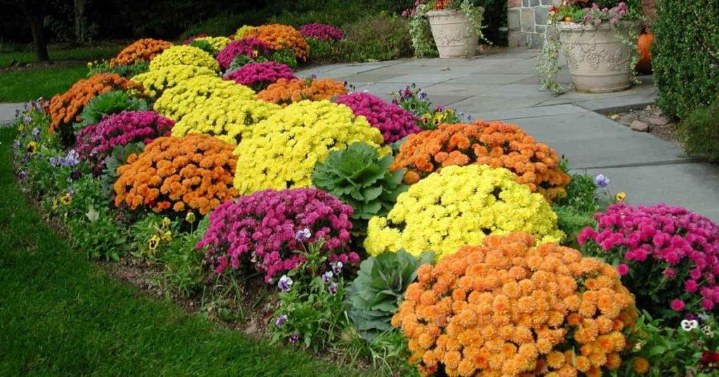дизайн цветника с хризантемами