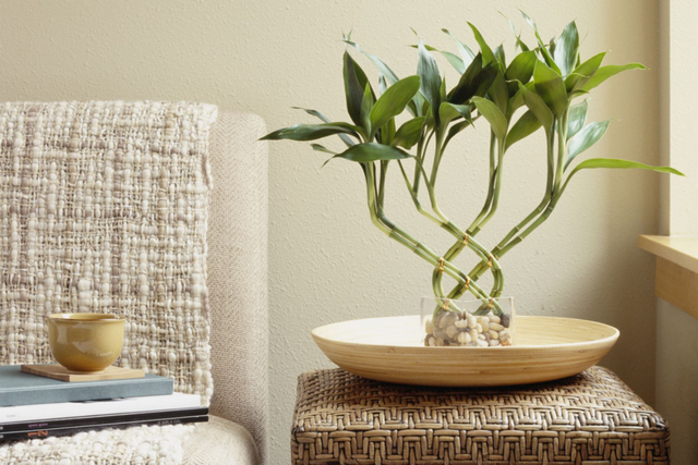 комнатный бамбук в интерьере